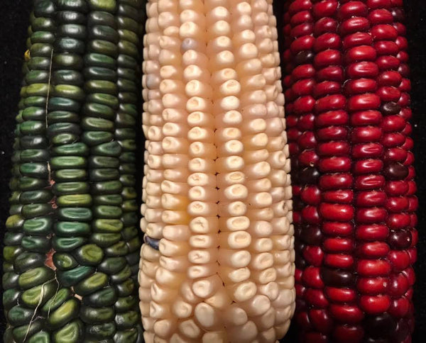 COLOURS OF CORN RESEMBLE THE MEXICAN FLAG