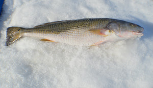 Redfish (Fillets) - Katies Seafood Market