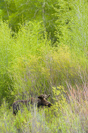 Moose in its Environment, © Globop Photography