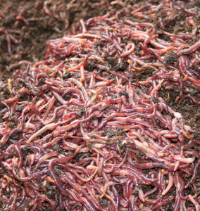Five (5) Pounds of Red Worms