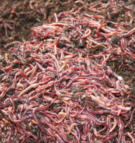 5 Pounds of Red Worms (5000+) Wigglers Composters