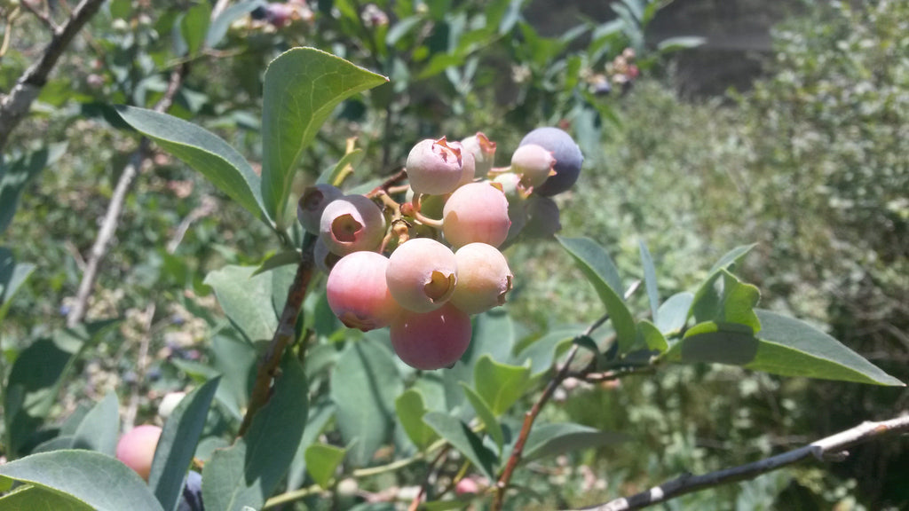 Brymac Blueberries