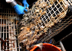 wet wipes being removed from sewer teatment screens