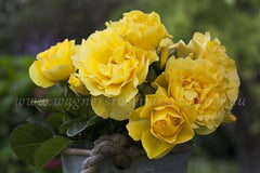 Potted Yellow Roses