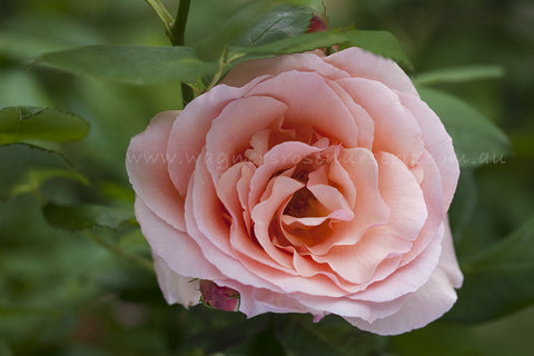 Apricot Nectar - potted rose