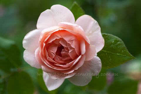 Ambridge Rose (Auswonder) - potted rose