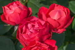 Cherry Bonica - potted rose