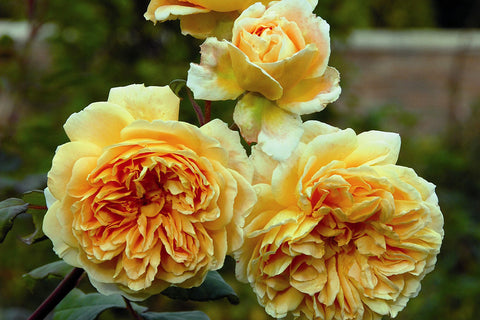 Crown Princess Margareta (Auswinter) - potted rose