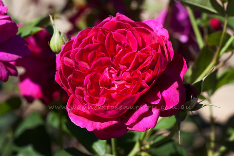Darcey Bussell® (Ausdecorum) - potted rose