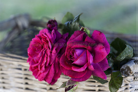 Dark Desire - potted rose
