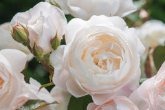 Desdemona® (Auskindling) - potted rose