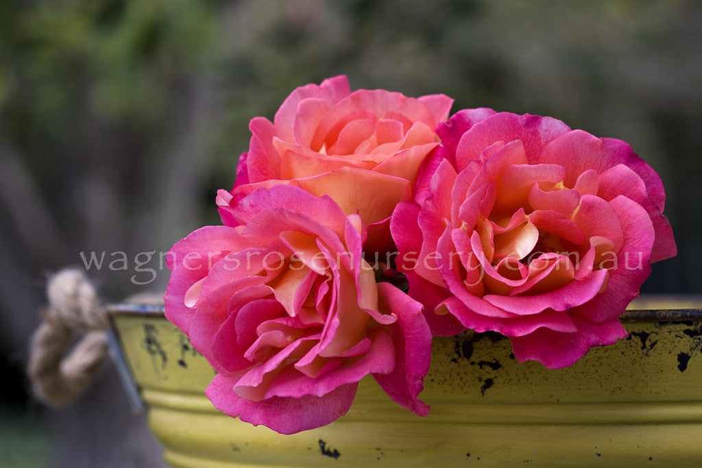 Enchanting - potted rose