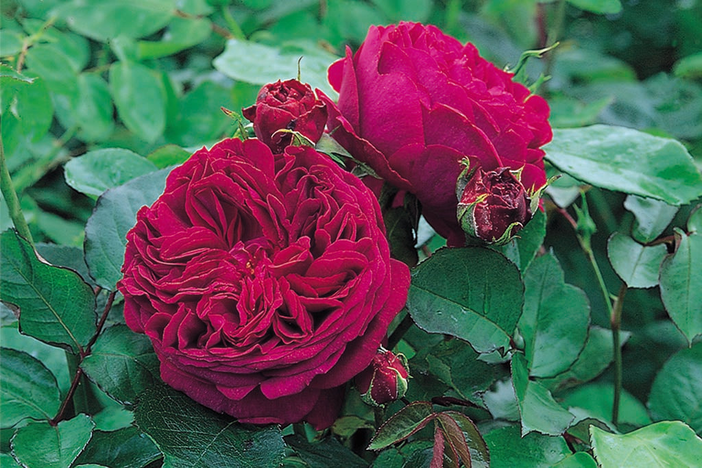 Falstaff (Ausverse) - potted rose