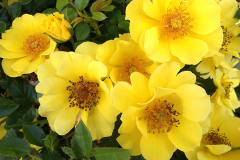 Golden Rosy Hedge