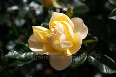 Golden Touch - Potted Rose