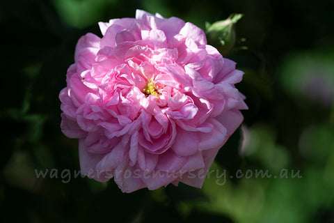 Ispahan - potted rose