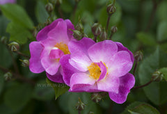 Lavender Dream - potted rose