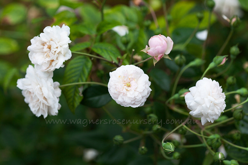 Little White Pet - potted rose