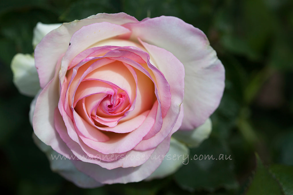 Moonstone - potted rose