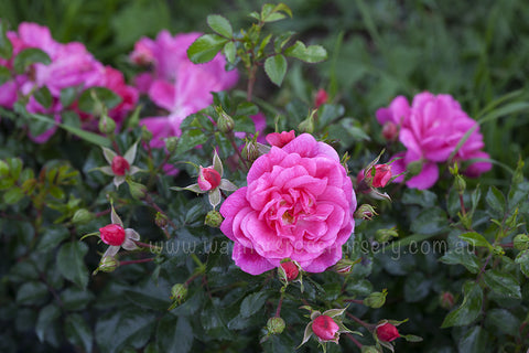 Our Rosy Carpet - potted rose