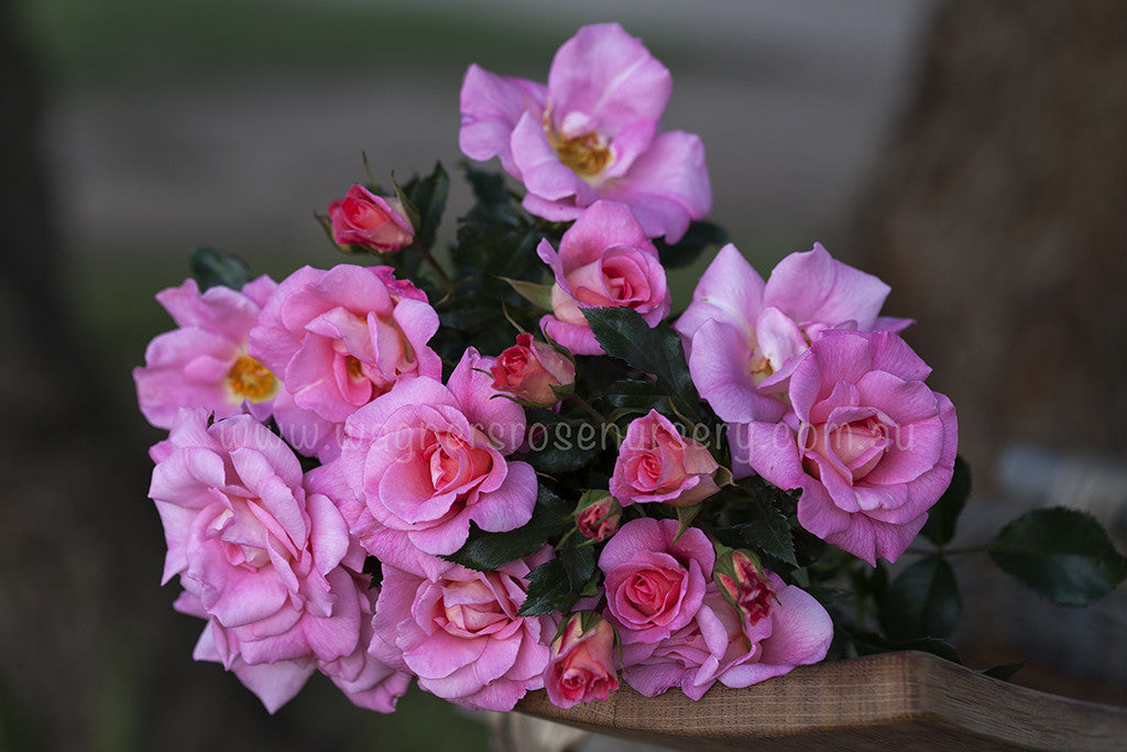 Pink Champagne - potted rose