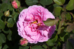 Princess Alexandra of Kent® (Ausmerchant) - potted rose
