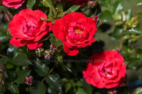 Red Rosy Hedge - potted rose