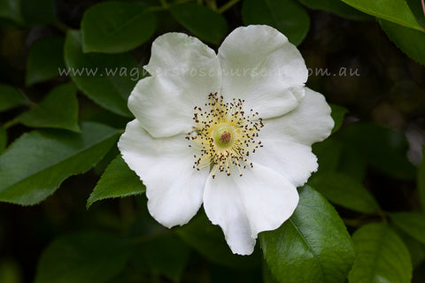 Rosa Laevigata Clg - potted rose