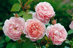 Strawberry Hill® (Ausrimini) - potted rose