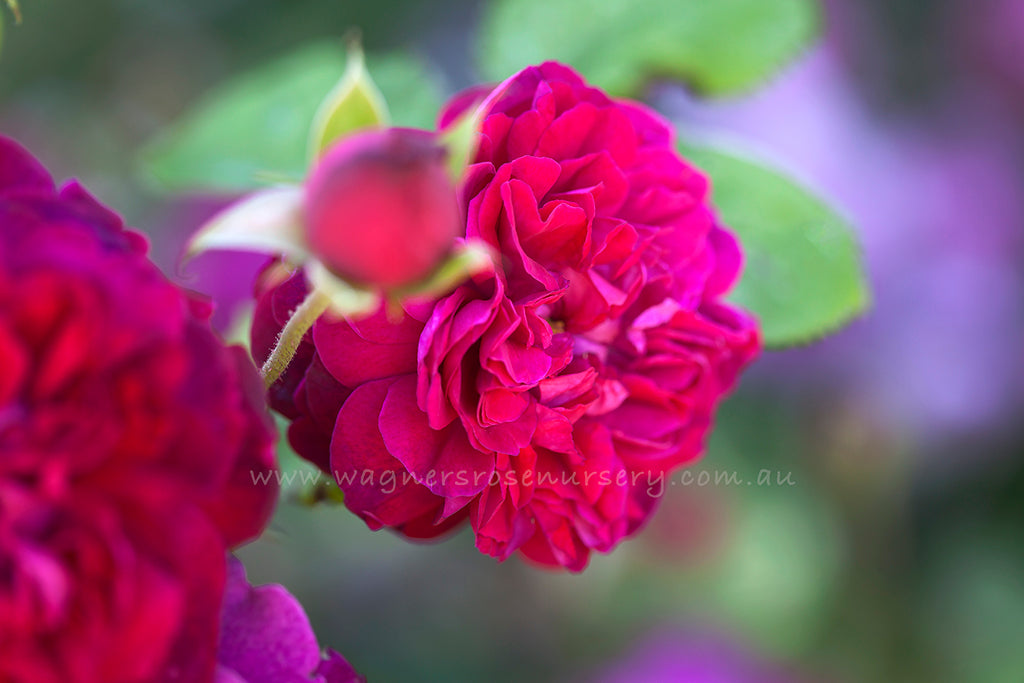 William Shakespeare 2000® (Ausromeo) - potted rose