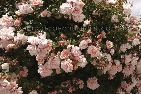 Albertine Clg - potted rose