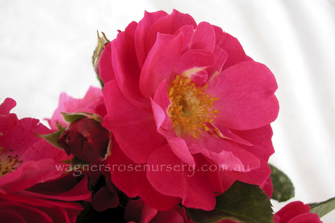 Bordure Magenta - potted rose