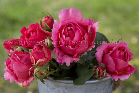 Child's Love - potted rose