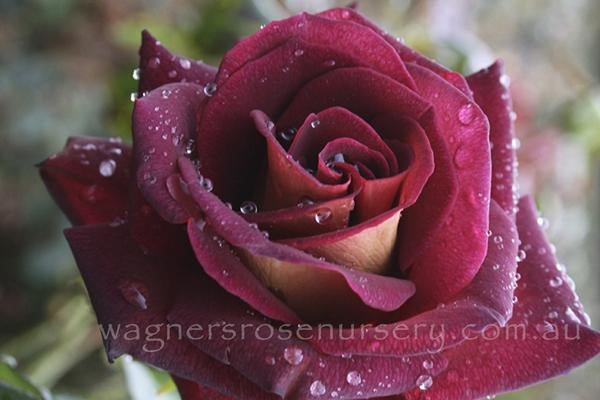 The RSL Rose - potted rose