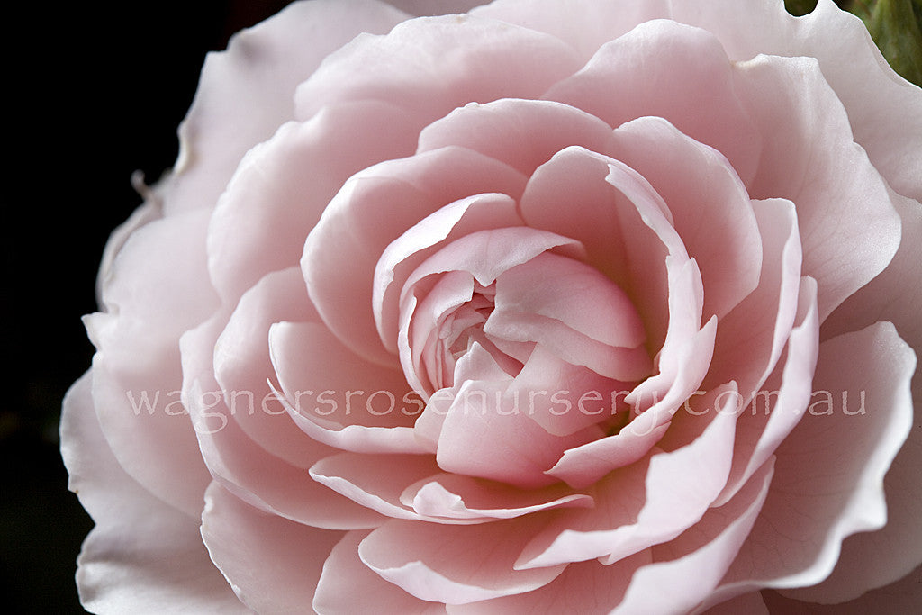 the-wedgewood-rose