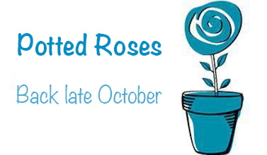 Potted roses available from January 4, 2021
