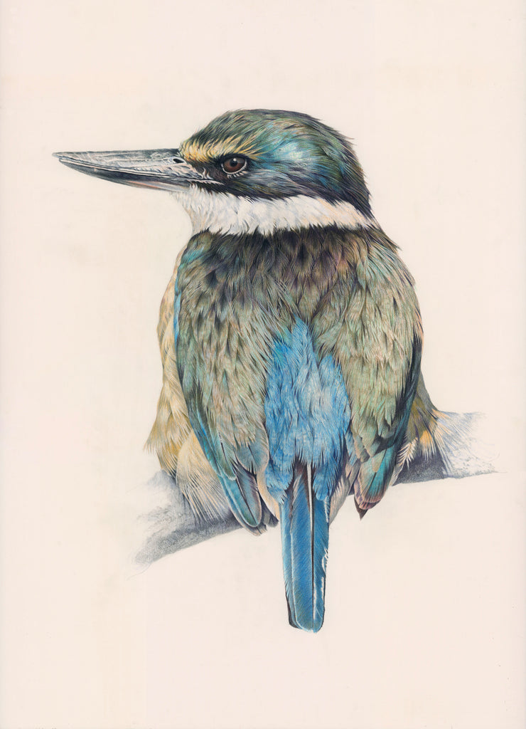Kingfisher (Kotare)