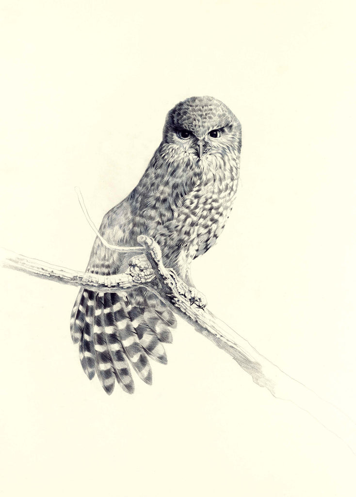Morepork, black and white