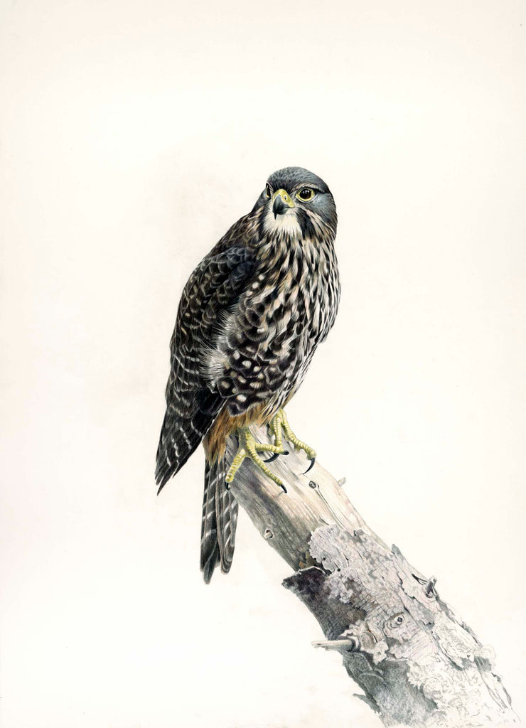 New Zealand Falcon Female (Karearea)