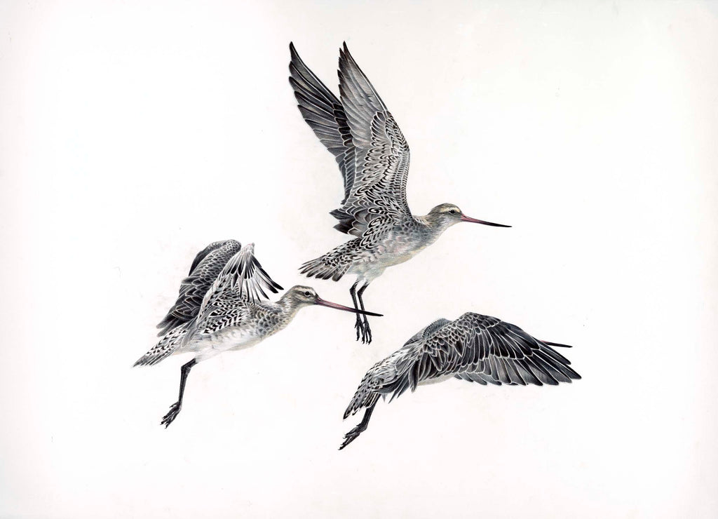 Bar-Tailed Godwit three (Kuaka)