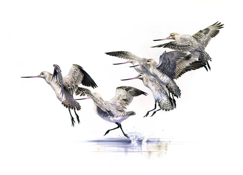Bar-Tailed Godwit five (Kuaka)