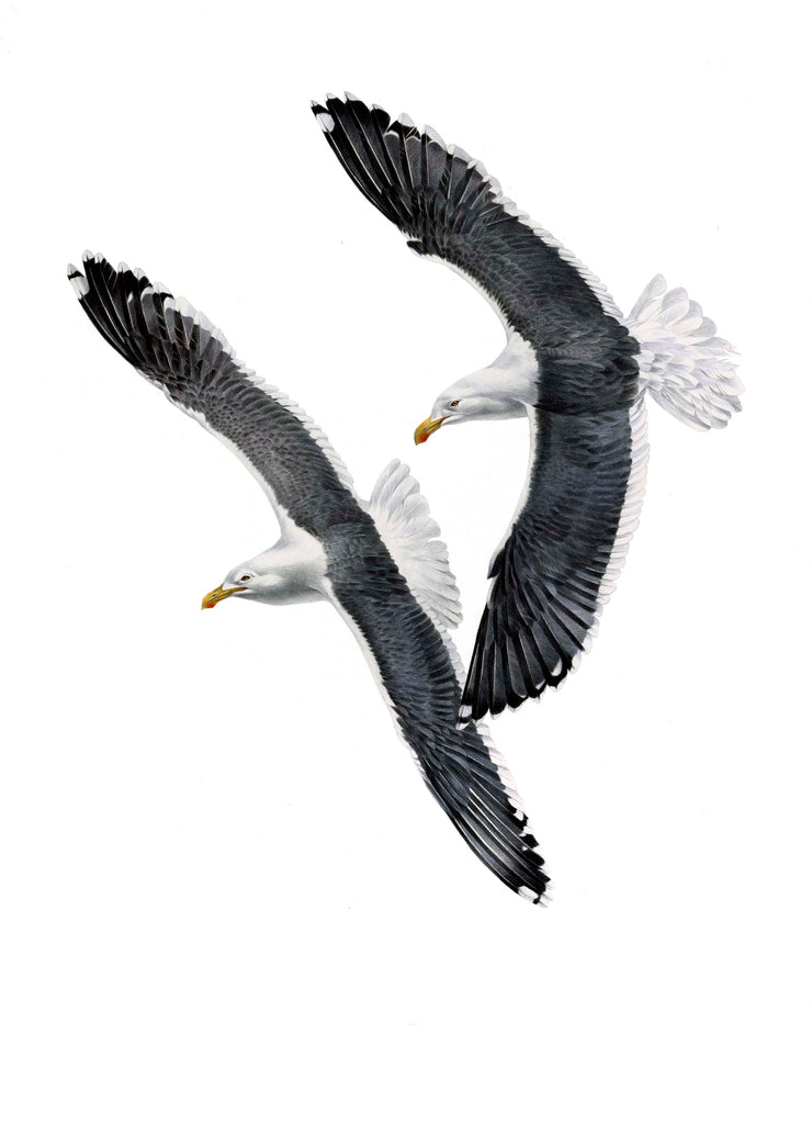 Black Backed Gull (Karoro)