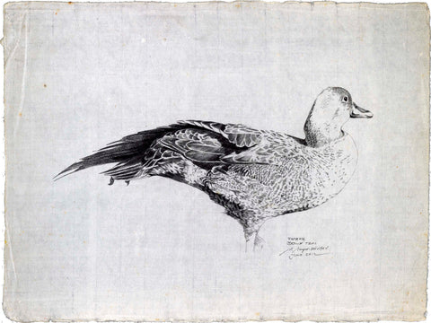 Brown Teal sketch (Pateke)