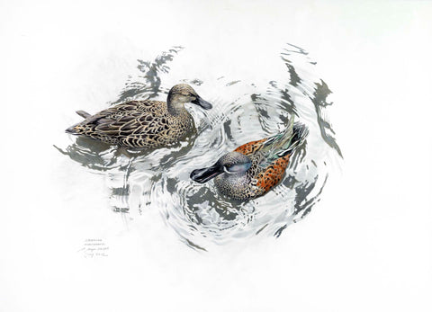 New Zealand Shoveler (Kuruwhengi)