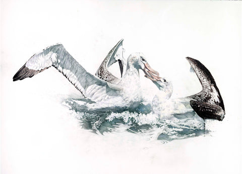 Wandering Albatross fight (Toroa)