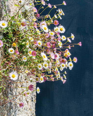 daisies on the churchyard wall