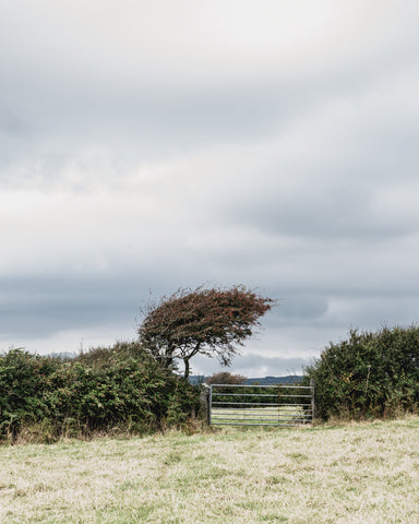 wind swept tree Cornwall