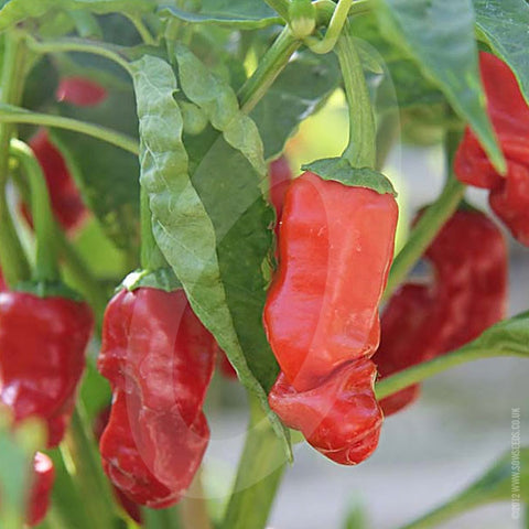 Peter Pepper Chilli Seeds