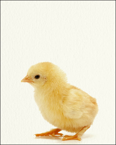 An image of a(n) Farm Baby Chick inspired Baby Animal Print.