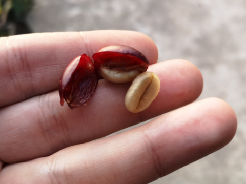Cherry Coffee Bean